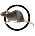 ratte-icon